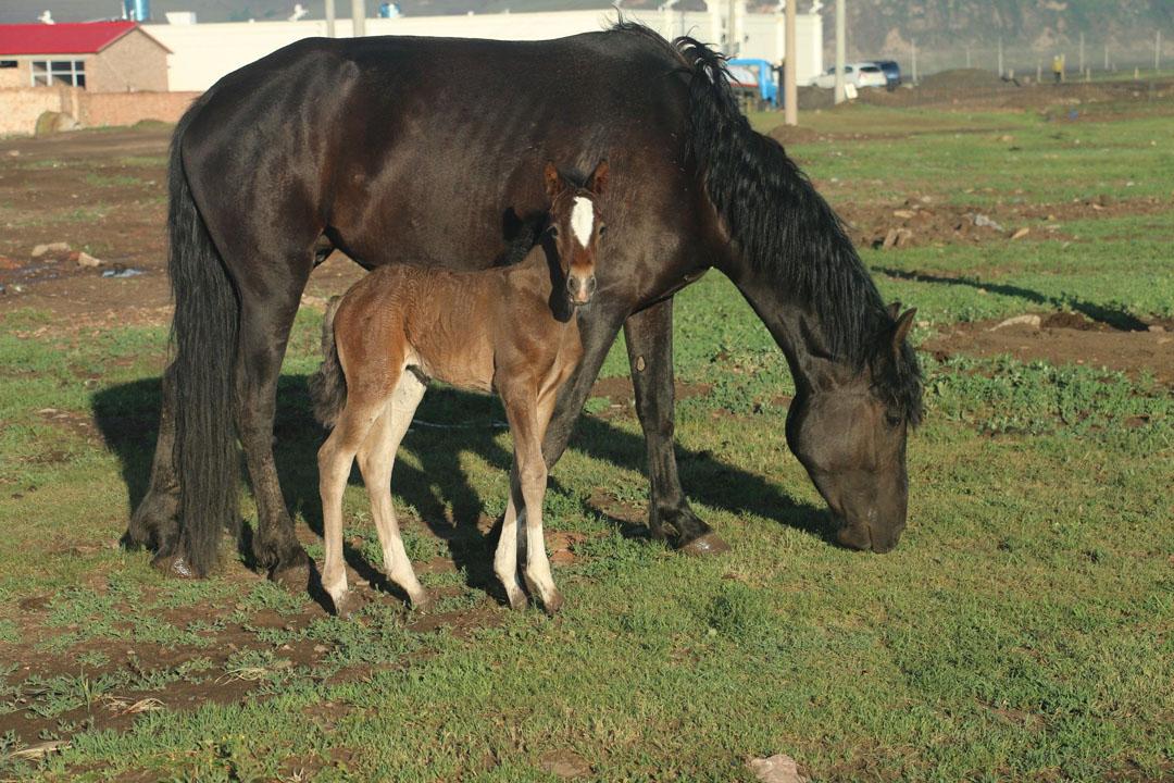 早晨好多马儿散养吃草,小马懒散可爱,吸引很多人.