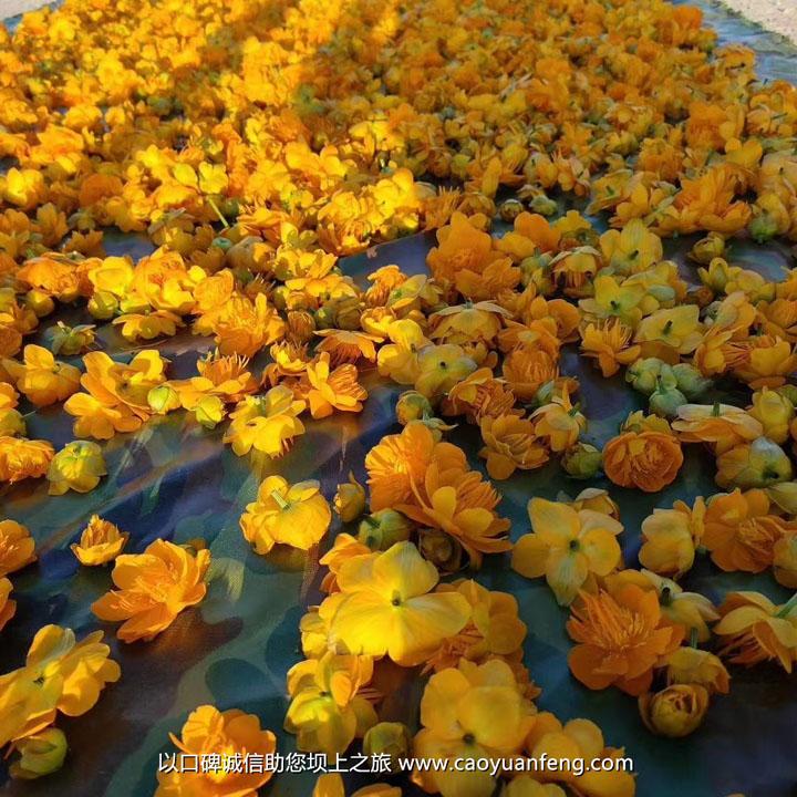 快来看刚采回来的蘑菇 山野菜 金莲花 带黄 黄花菜等