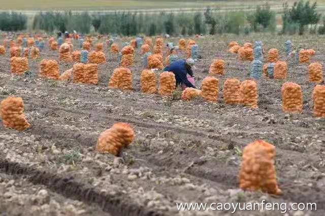 坝上金秋土豆大丰收 农民伯伯捡土豆