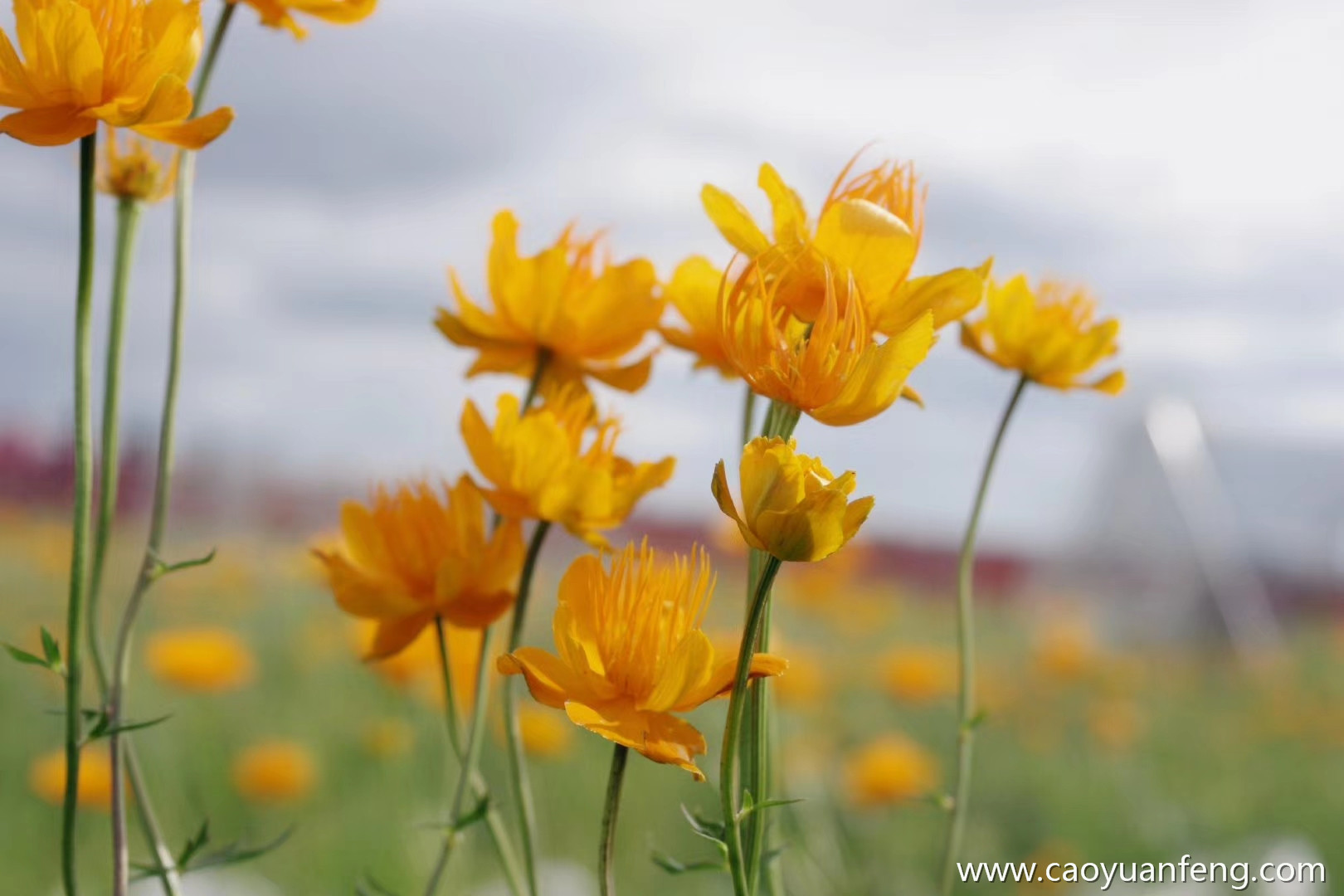 坝上草原夏天开的最漂亮的花