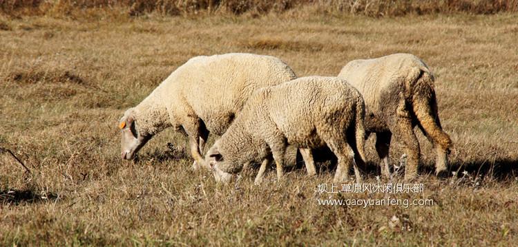 坝上细毛羊,美味烤全羊的最佳原料